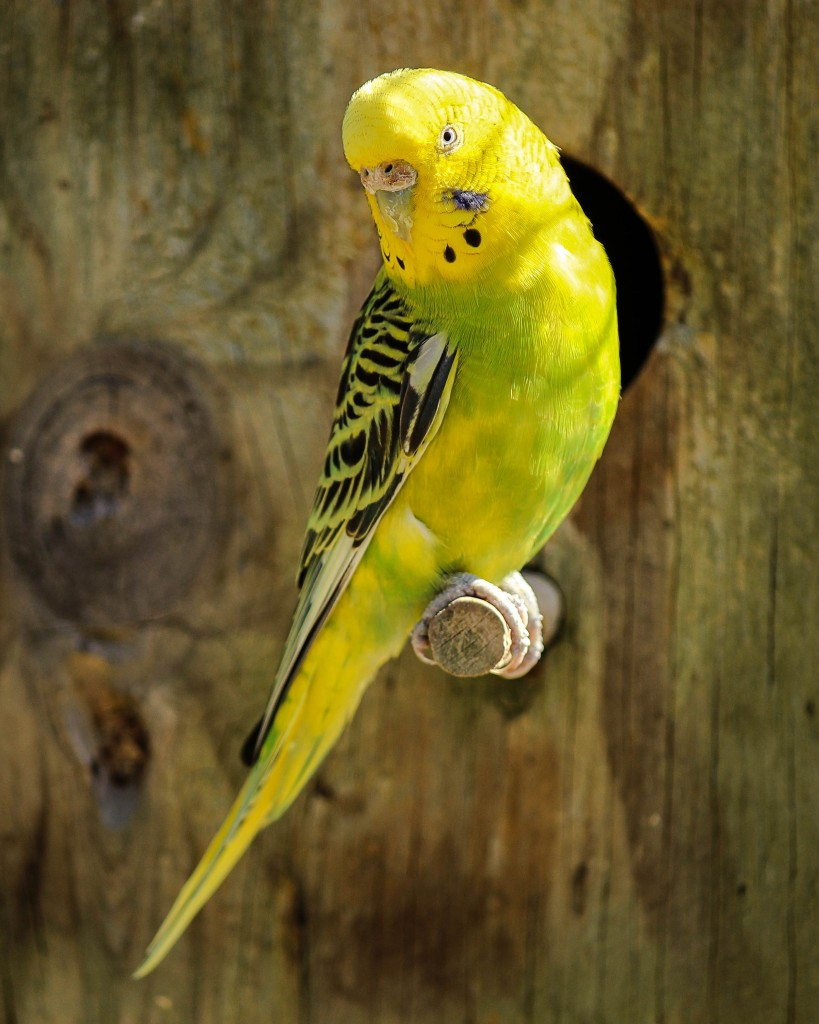 parakeet-yellow-parakeet-green-parakeet-bird-51161